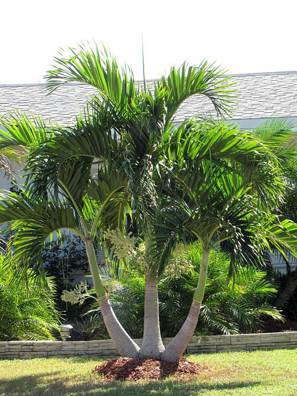 Christmas Palm Tree Adonidia Merrillii Fast Growing Palms