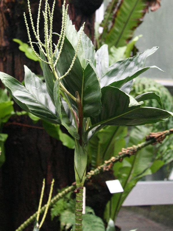 Metallic Fish Tail Palm Tree Chamaedorea Metallica