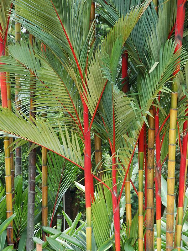 Red Lipstick Palm Tree  Cyrtostachys Renda   U2013 Fast Growing