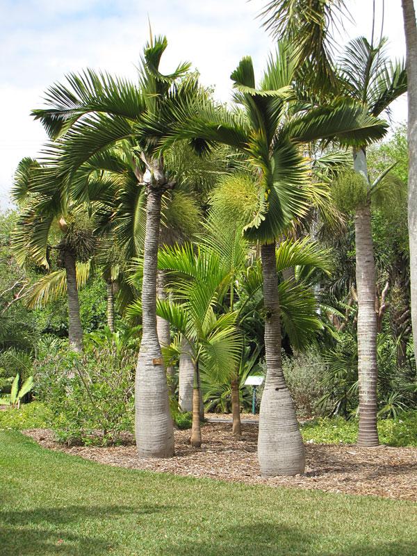 Bottle Palm Tree Hyophorbe Lagenicaulis Fast Growing Palms